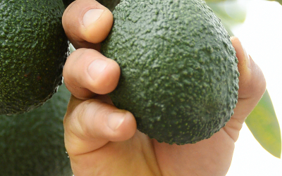 How to choose the best avocado on the market